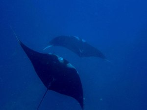 Manta Rays having fun in Ko Bon
