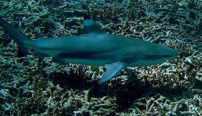 Black tip Shark at Ko Bon