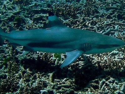 Black tip Shark at Ko Bon