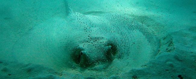 Porcupine ray Richelieu rock