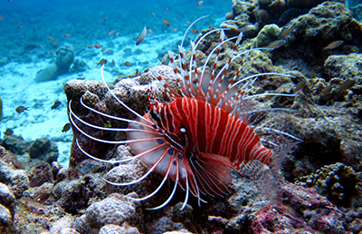 Similan Islands diving with a lion fish