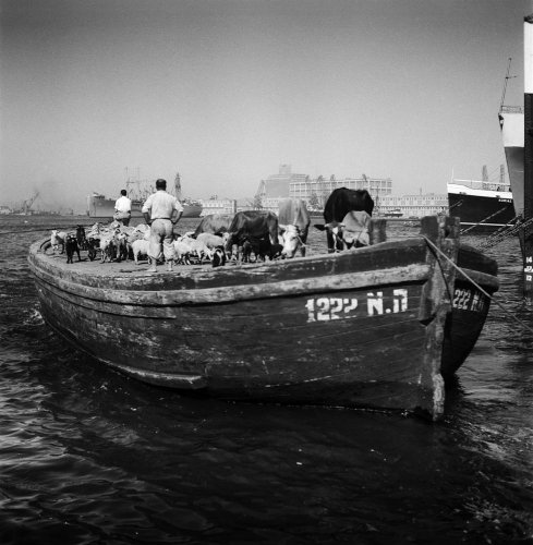 Μαούνα φορτωμένη με γελάδες και κατσίκια στο λιμάνι του Πειραιά το 1951 - Νικόλαος Τομπάζης - Μουσείο Μπενάκη