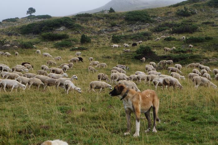 Gos de protecció de ramats_1 · Foto: DAAM