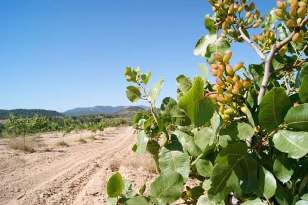 árbol de donde salen los pistachos