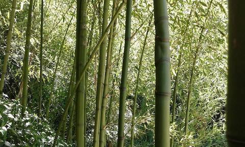Bambues en la montaña de Montjuïc