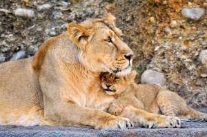 親子ライオン フリー
