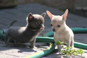 2匹の子犬 フリー