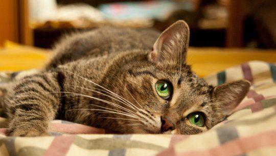 Причины рвоты у кошки, что делать. Почему у кошки рвота желтой жидкостью или белой пеной Почему кота рвет желтой жидкостью