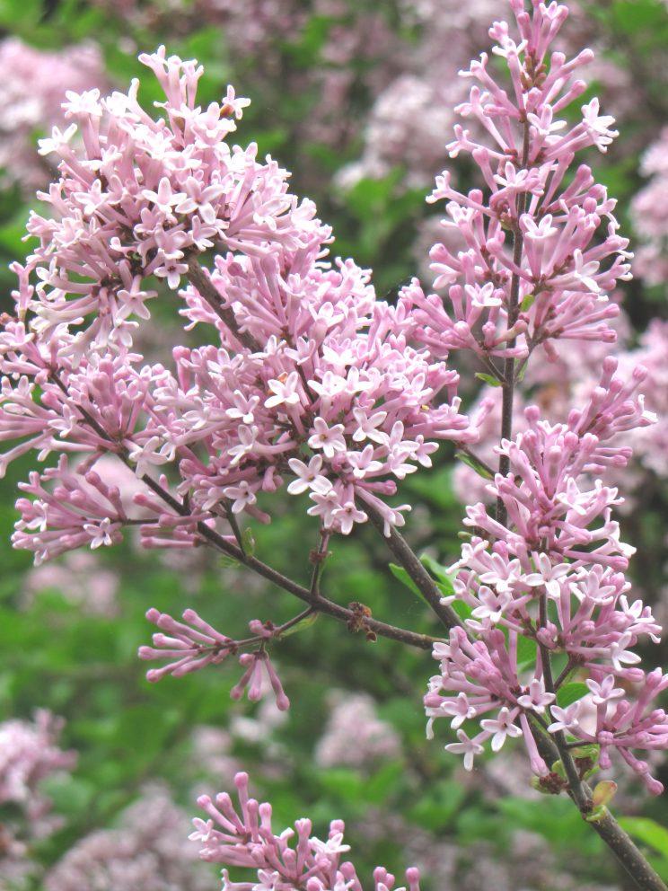 Lilac Syringa meyeri 'Palibin' by Christine Riggle CC