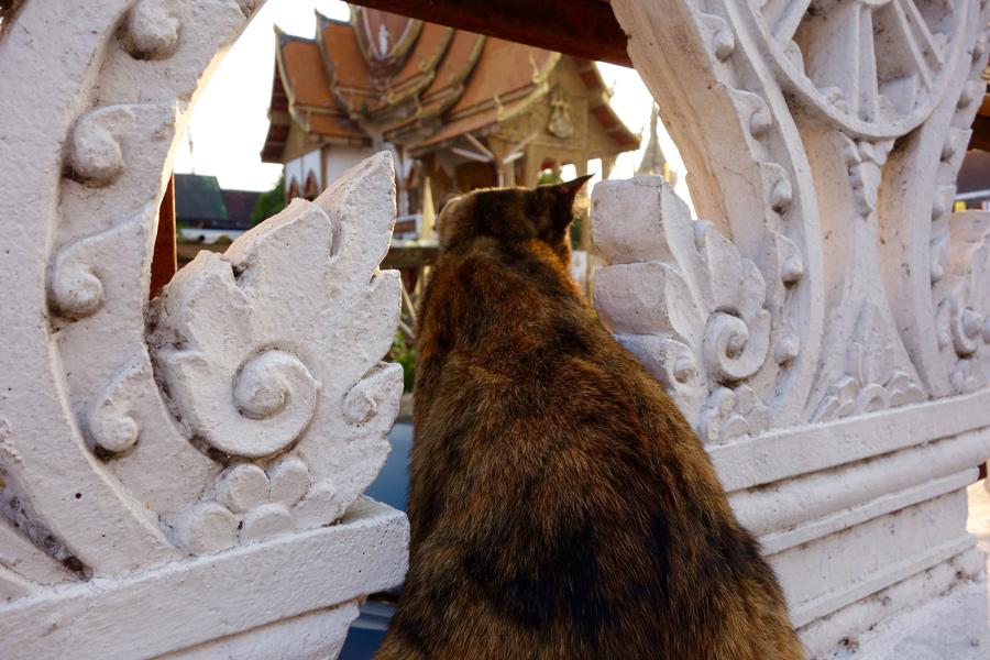 Cat at Temple Chiang Mai