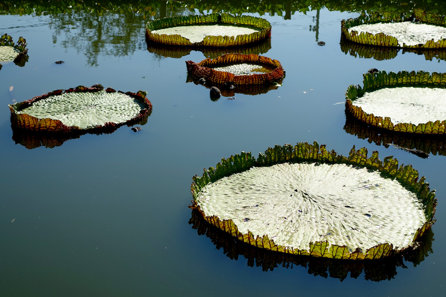 Giant Lily Pads Chiang Mai