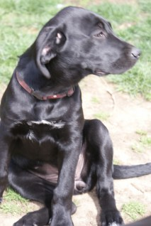 Great Dane Puppies 11