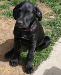 Great Dane Puppies 9