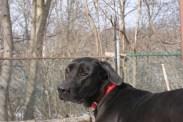 Boomer PA Great Dane Rescue (10)