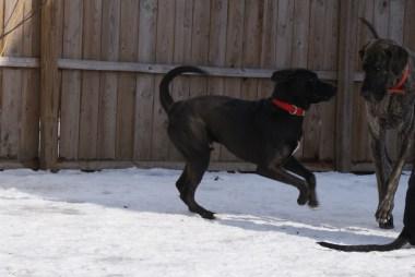 Boomer PA Great Dane Rescue (15)