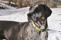 Pepper PA Great Dane Rescue (7)