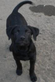 Puppies pa great dane rescue (12) (685x1024)