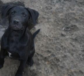 Puppies pa great dane rescue (13) (1024x932)