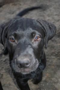 Puppies pa great dane rescue (15) (685x1024)