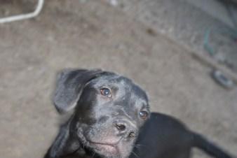 Puppies pa great dane rescue (16) (1024x685)