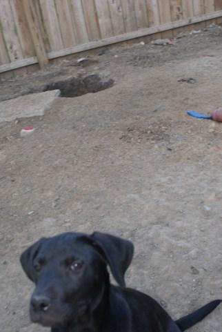 Puppies pa great dane rescue (19) (685x1024)