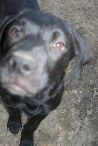 Puppies pa great dane rescue (20) (685x1024)