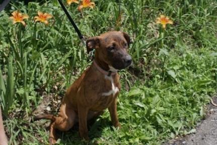 Hazel Great Dane rescue puppy (14)