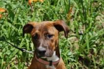 Hazel Great Dane rescue puppy (16)