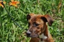 Hazel Great Dane rescue puppy (17)