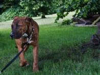 Hazel Great Dane rescue puppy (22)