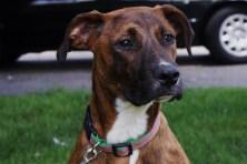 Hazel Great Dane rescue puppy (23)