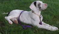 Sky Great Dane rescue puppy (1)
