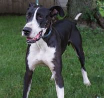 Zues Pa Great dane rescue (4)