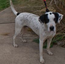 Chester Pittsburgh Great Dane (2)