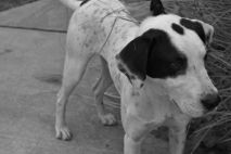 Chester Pittsburgh Great Dane (8)