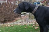 Duchess PA Great Dane Rescue (5)