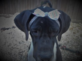 Katie Perry PA Great Dane Rescue (1)