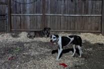 Bella PA Great Dane Rescue (3)
