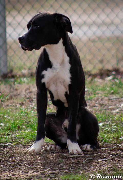 caldwell Pa Great Dane Rescue (11)