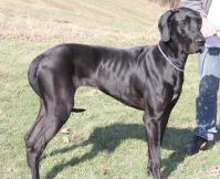 Yager PA Great dane rescue (2)