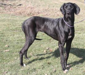 Yager PA Great dane rescue (4)