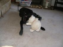Abby Pa Great Dane Rescue (2)