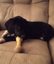 rescue-pa-great-dane-puppy-7