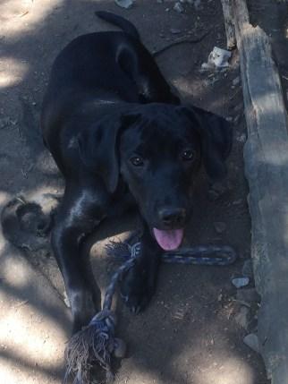 rescue-pa-great-dane-puppy-9