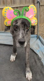 Tilly PA Great Dane Rescue (1)