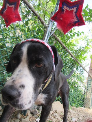 Opie Pittsburgh Great Dane Rescue (1)