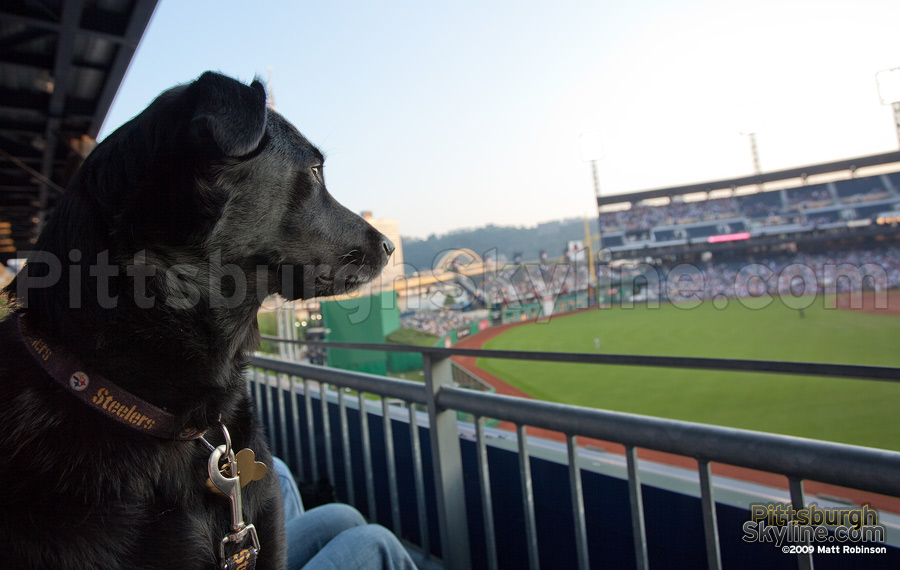 My dog Beau watches her first Pirate game at Pups in the Park