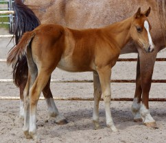 FI X Smart Red Boonsmal Sorrel Filly