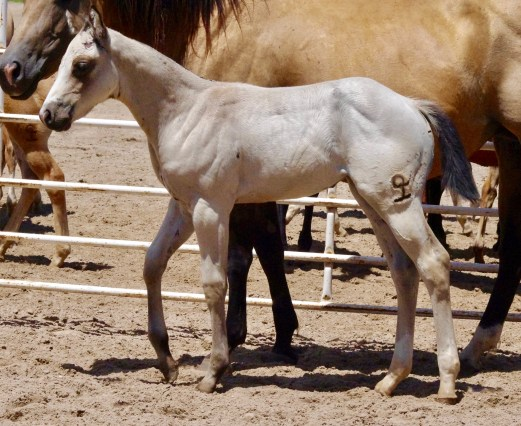 2017 Buckskin Filly DGJ X Baby Two Eyed