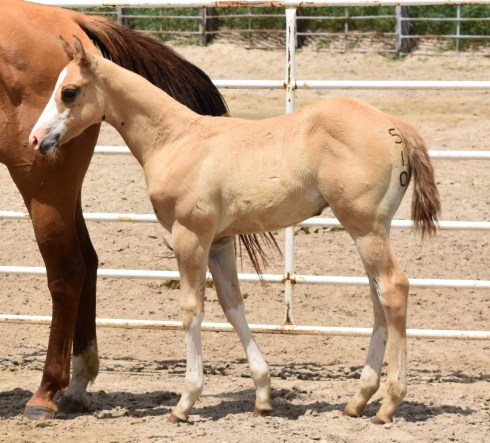 Favorable Intentions X Genuine Red Buck ML Stud Colt